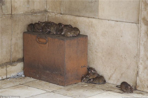 Chuột ở đây được chăm sóc rất kĩlưỡng. Chúngđược uống sữa, ăn những món làm từ ngũcốc. (Ảnh: Internet)