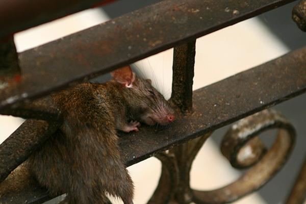 Một chú chuột nằm ngủ rất thong dong trong đền. (Ảnh: Internet)