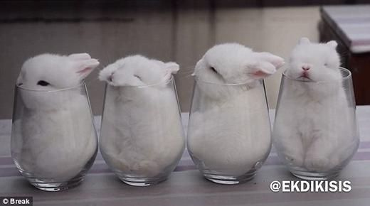 Các chúthỏ được đặt trong những li nước liệu có phải hành động dã man? (Ảnh: Internet)
