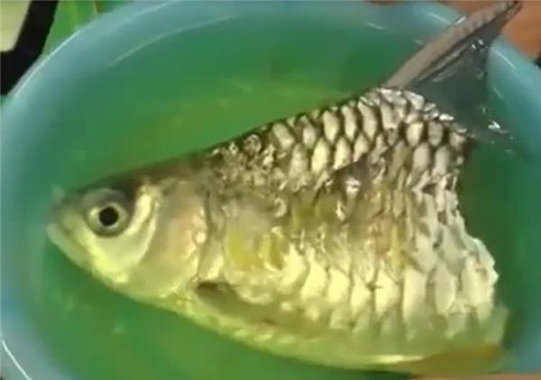 Chú cá vẫn hô hấp và ăn uống bình thường trong vòng hơn 6 tháng. (Ảnh: Internet)