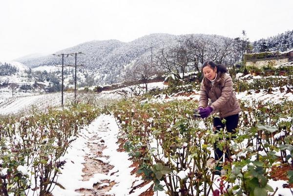 Tuyết rơi khiến hoa màu bị hư hại nghiêm trọng. Ảnh: Internet