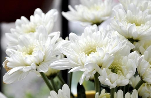 Hoa cúc trắng chỉ dành cho lễ tang.(Ảnh: Internet)
