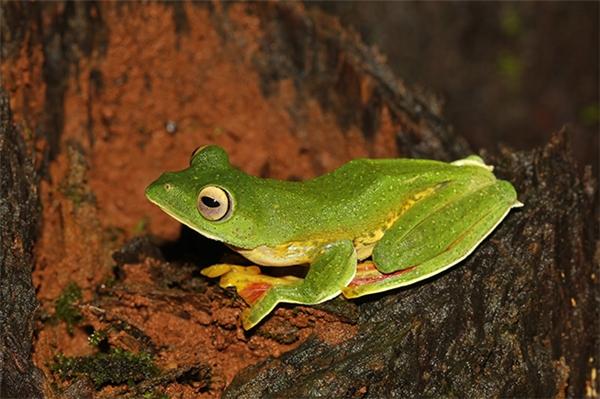 Chân dung loài ếch khiến cộng đồng mạng phải một phen xôn xao cả lên (Ảnh: Internet)