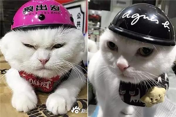Cách chăm sóc mèo đực sau khi thiến để chúng không tủi thân