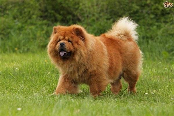 Top 10 Giống Chó đẹp Nhất Thế Giới