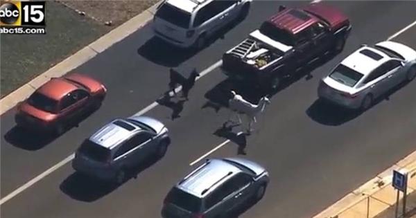 Hài hước với clip lạc đà đi lạc gây ùn tắc giao thông