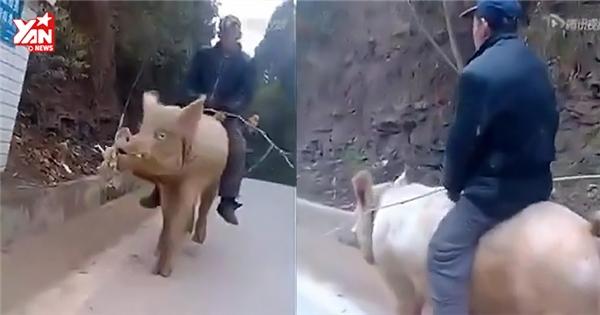 Clip cưỡi lợn đi làm khiến dân mạng xôn xao