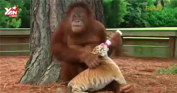 Thích thú cảnh đười ươi mẹ chăm sóc và cho hổ con bú