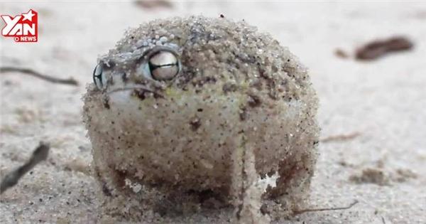 Chú ếch hát gọi mưa bằng giọng mèo siêu bựa