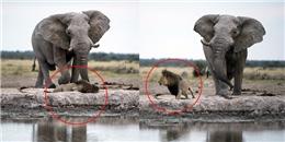"""Mải """"suy nghĩ chuyện đời"""", sư tử suýt bị voi dẫm """"bẹp dí"""""""