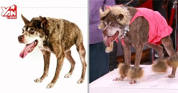 Hành trình tân trang nhan sắc của chú chó xấu nhất thế giới