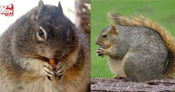 Cận cảnh chú sóc béo phì không thể di chuyển vì... ăn quá nhiều