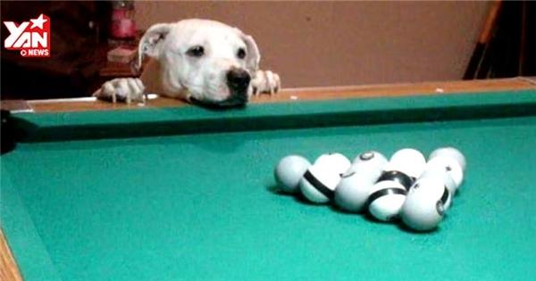 Kinh ngạc với chú chó chơi bi-a nổi tiếng thế giới