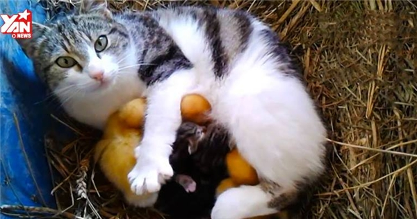 Ngộ nghĩnh mẹ mèo nghĩ vịt là con của mình