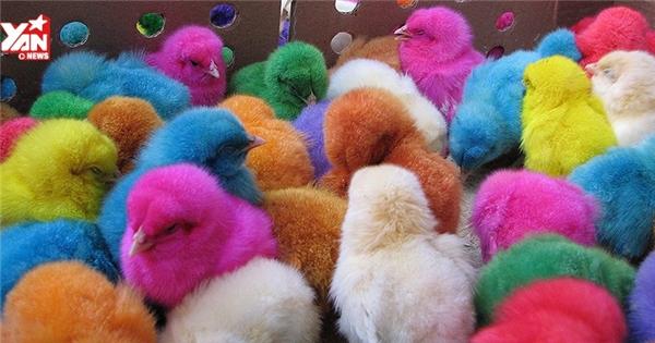 Sốc với cảnh gà con bị nhuộm hoá chất hàng loạt để làm thú cưng