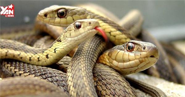 Kinh ngạc với loài rắn đẻ con không cần trứng