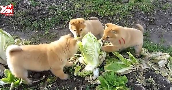 """Dân mạng """"phát rồ"""" trước 3 chú chó tham ăn nhất quả đất"""
