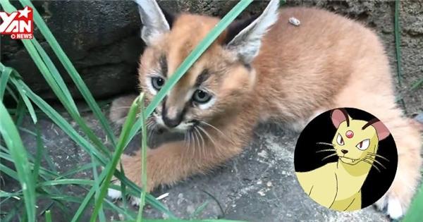 Cận cảnh loài mèo rừng có hình dáng hệt như Pokemon