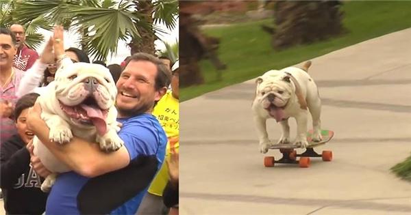 Chú chó bull trượt ván điêu luyện nhất thế giới