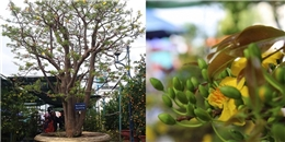 'Sốt' với cây mai cổ có giá 2 tỉ đồng ở Đà Nẵng