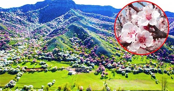 Ngắm thung lũng hoa mai đẹp nhất thế giới