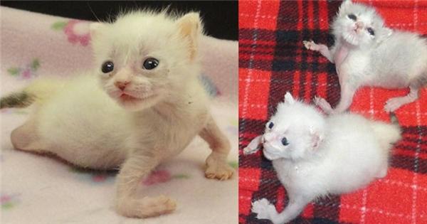Cảm động trước tình cảnh đáng thương của chú mèo con khuyết tật tứ chi