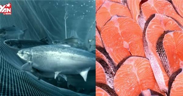 Sự thật đằng sau những miếng cá hồi hồng tươi bạn hay ăn