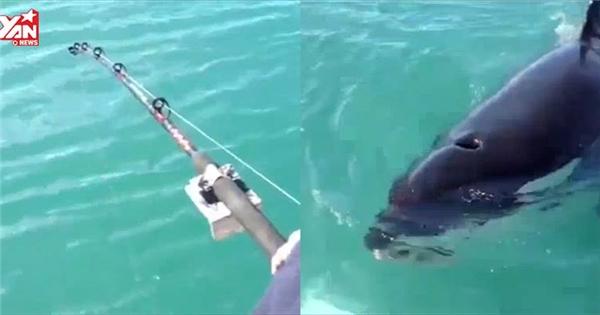 Bạn sẽ phản ứng ra sao nếu bất ngờ câu được cá voi sát thủ?