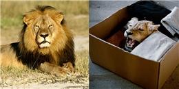 Sốc với những chú sư tử được nuôi để trở thành con mồi ở Châu Phi
