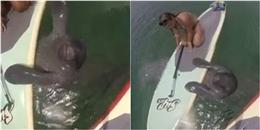 Cười lăn lộn với chú hải cẩu ham chơi ván trượt nhất hệ mặt trời