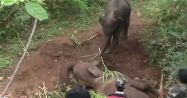 Rơi nước mắt trước cảnh voi con quyết không rời xác mẹ