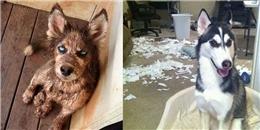 Làm Husky, không quậy 'banh nhà' thì biết làm gì bây giờ?