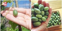Rần rần 'cơn sốt' trồng dưa hấu tí hon 'siêu dễ thương, siêu dễ nuôi'