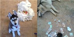 Để husky ở nhà một mình, bạn sẽ phải hối hận trọn một đời