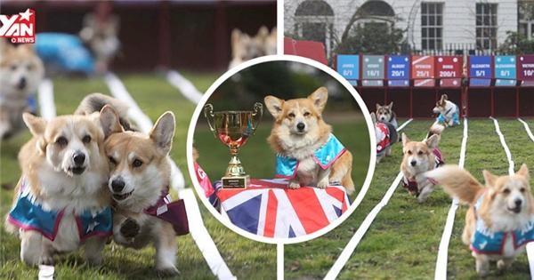 Cận cảnh những trận đua đáng yêu của chó Corgi
