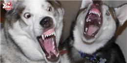 Chết cười với chú Husky sủa như... vịt kêu