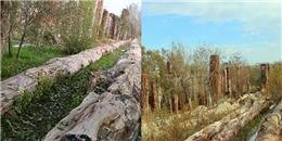 Phát hiện cây hóa thạch dài 56m phá kỉ lục thế giới