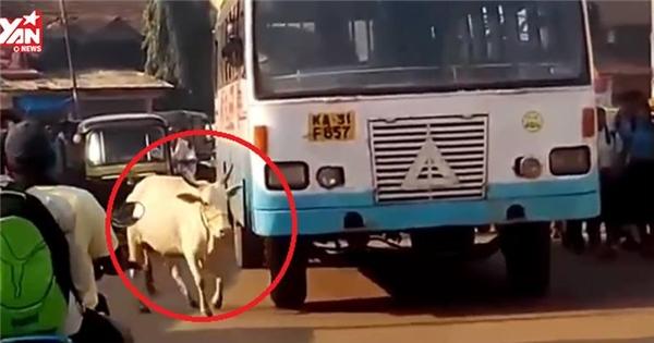 Xúc động với lí do khiến con bò này chặn đường chiếc xe buýt