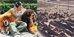 Xót xa cảnh loài 'thần cẩu' Tây Tạng bị 'thất sủng' và bỏ rơi
