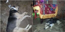 Cảm động câu chuyện chú chó đeo khăn tang và nguyện chết theo chủ