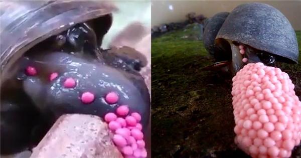 Chuyện sinh sản thú vị của loài ốc cực kì thích thú